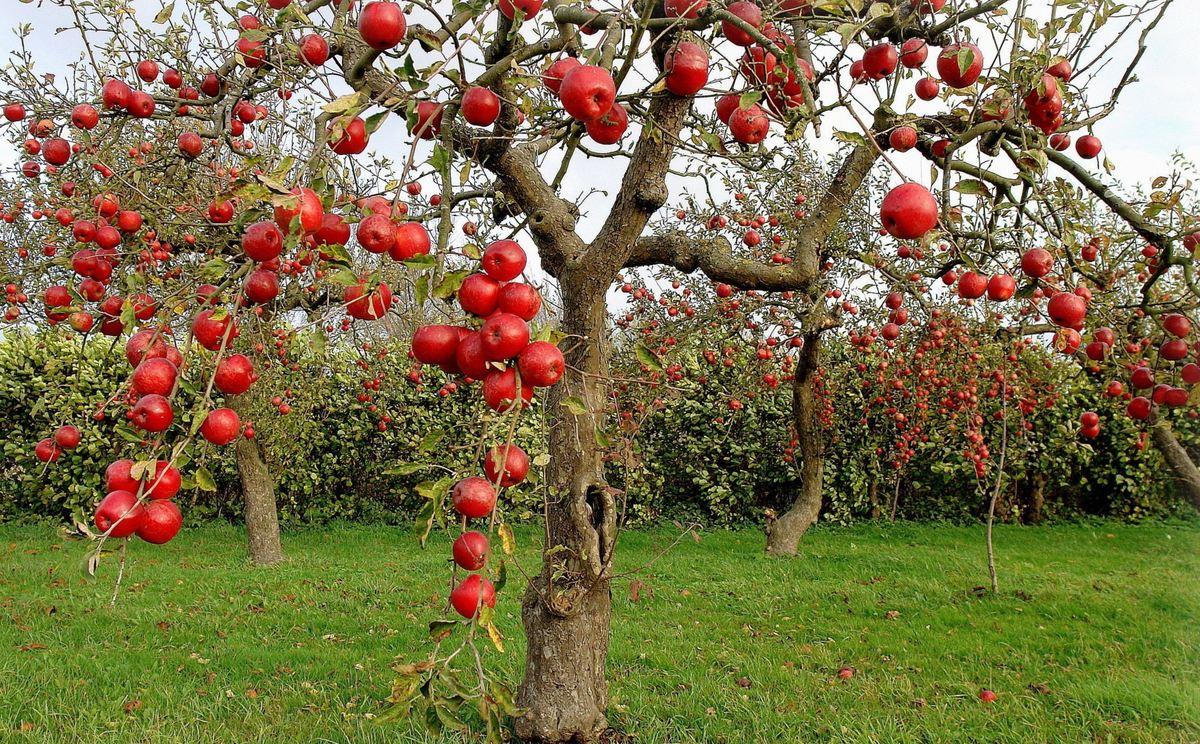 Почему на фруктовых деревьях не растут фрукты?