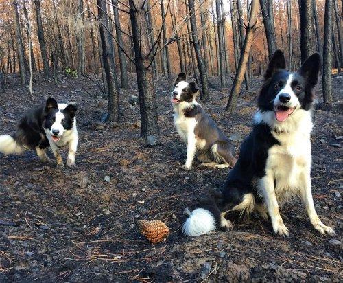 Три собаки со специальными рюкзаками помогают восстанавливать растительность в сгоревших лесах Чили