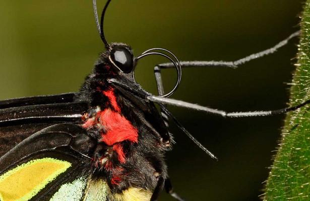 Хоботок у бабочек появился раньше чем появились цветы