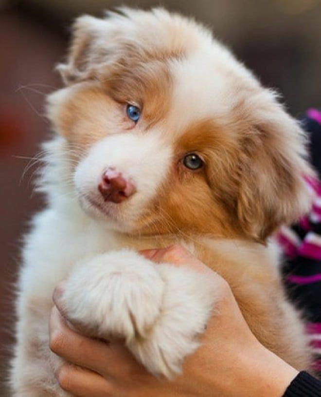 «Любовь с первого взгляда»: 10 милых щенков австралийской овчарки, которые тронут ваше сердце