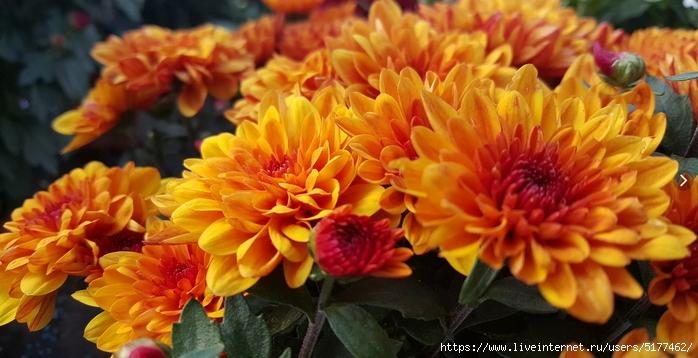 Хризантема – королева осени!