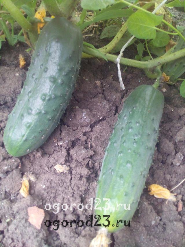 Как сажать огурцы, чтобы урожай радовал?