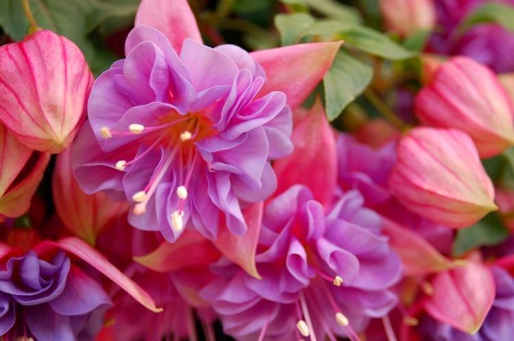 Фиолетовая фуксия