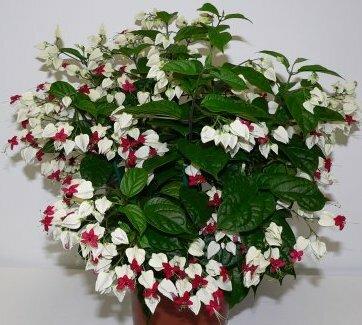 Этот необычный цветок, всех удивит своей красотой