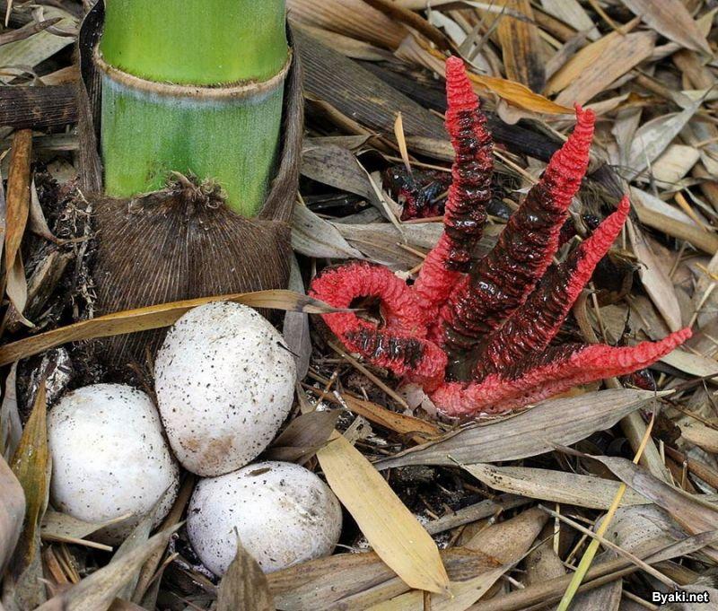 «Пальцы дьявола» — самый жуткий гриб в мире