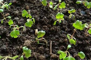 Выращивание сельдерея из семян