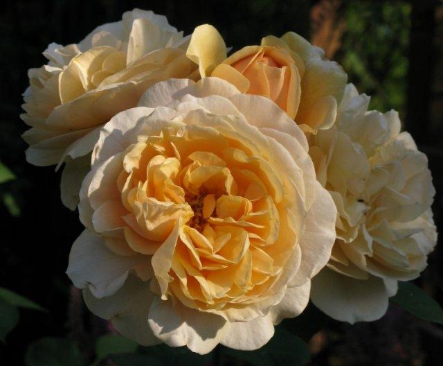 Радуга на участке – яркая коллекция минского розовода