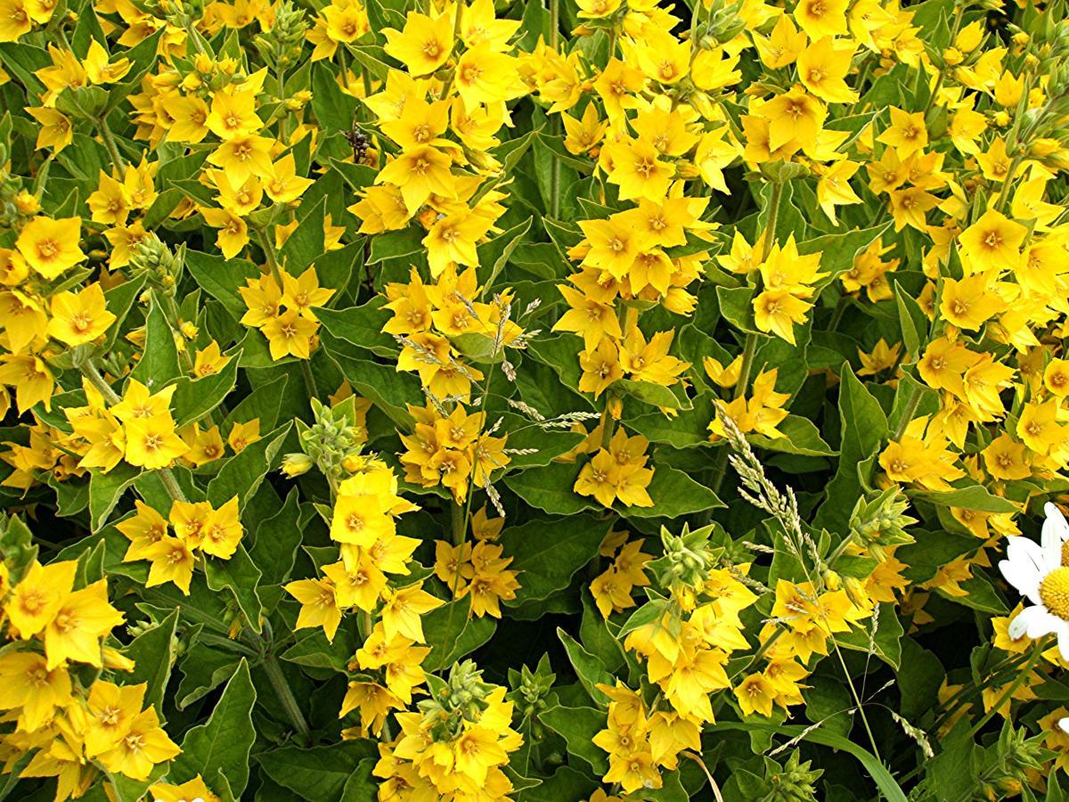 Многолетник с желтыми цветами название - Цветы на даче 87