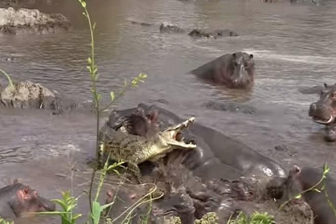 Поворот не туда: 30 бегемотов чуть не растерзали крокодила