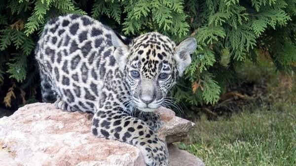 Я - самарский ягуар, и зовут меня Азар jaguar, животные, зоопарк, малыши, милота, самара