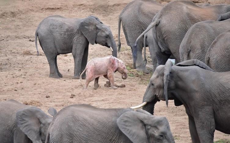 Туристы обнаружили в национальном парке слоненка-альбиноса