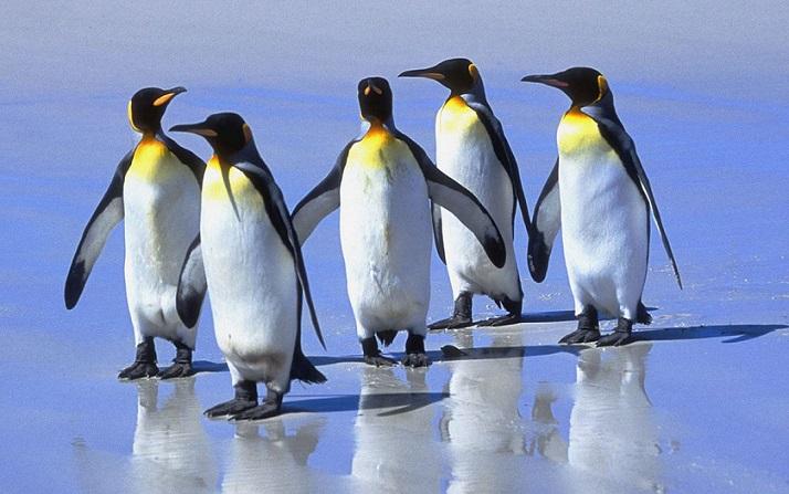 Ученые в недоумении: королевские пингвины обнаружились в Африке