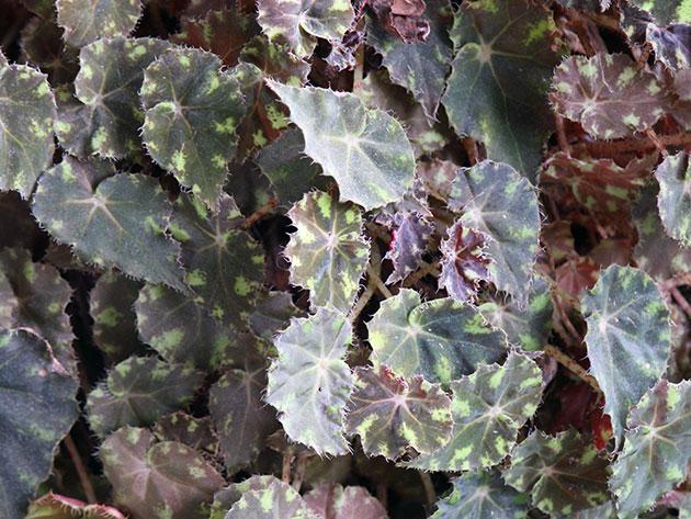 Бегония тигровая (Begonia bowerae)