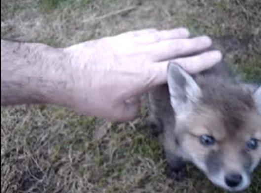 Мужчина спасает лисенка, который застрял головой в консервной банке. Благодарность зверька трогает до слёз!