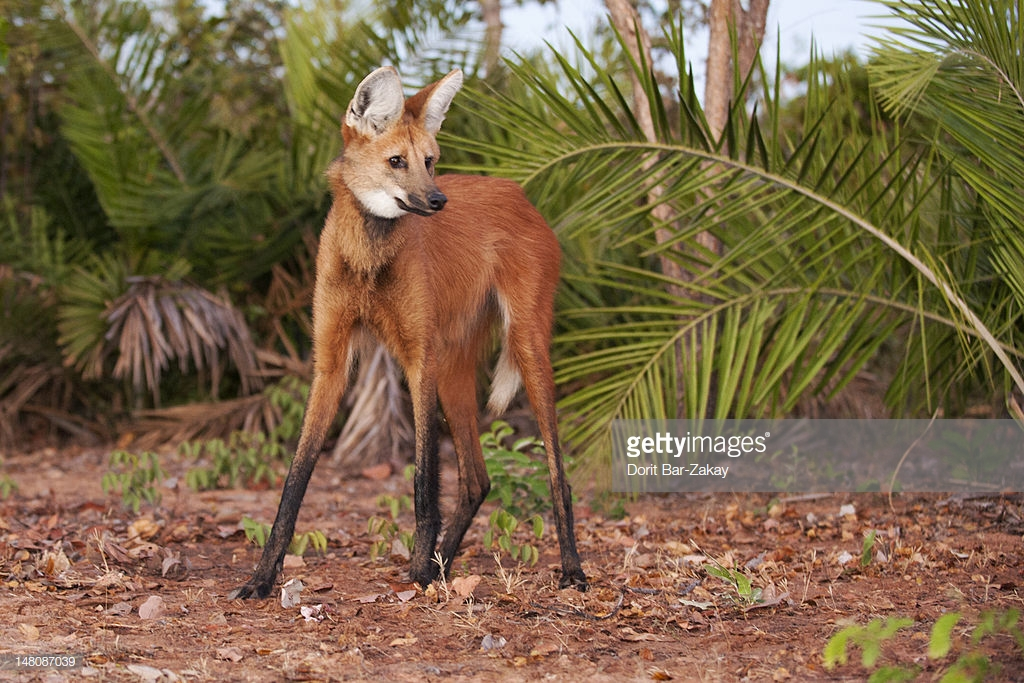 Maned Wolf : Stock Photo