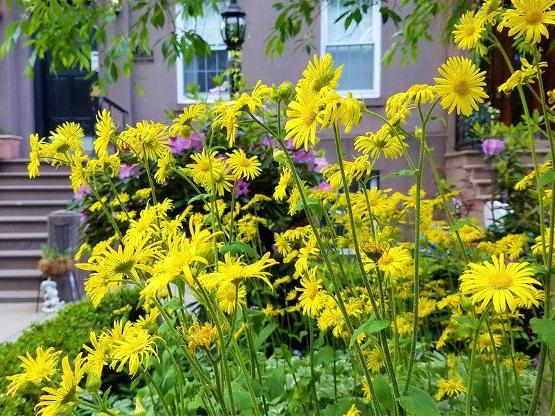 Дороникум (козульник) – неприхотливый многолетник весеннего цветения