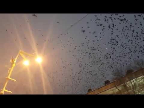 Вороны над Порошенко
