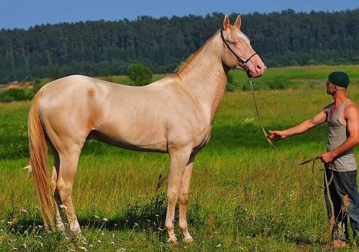 2. Ахалтекинская лошадь. 10 наиболее красивых животных в мире, животные, самые красивые животные мира, топ-10