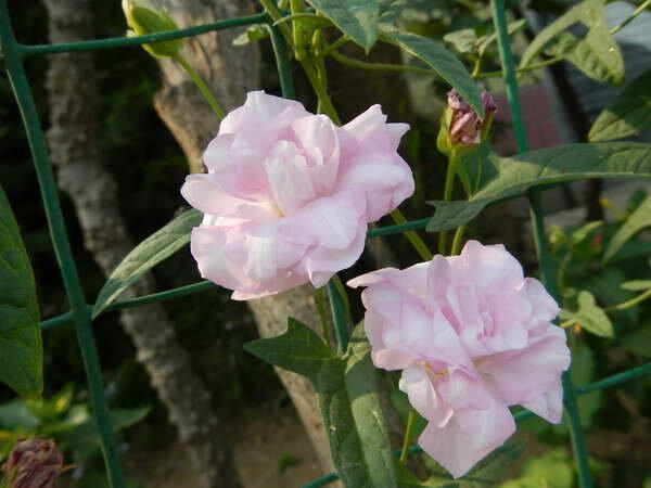Красива как роза и неприхотлива как сорняк — калистегия. Цветет с июля до морозов!