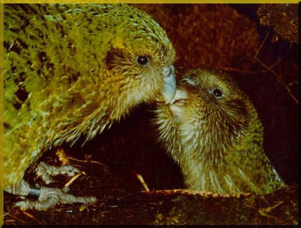 Какапо или совиный попугай- - ad