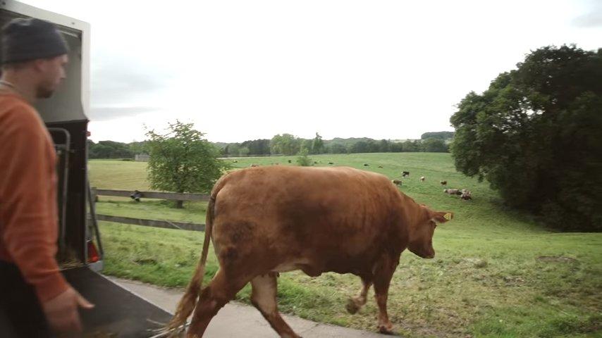 Корова заплакала, подумав, что ее ведут на бойню. Однако потом она немало удивилась!