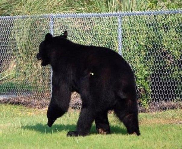 История человека, который рискнул своей жизнью ради тонувшего медведя