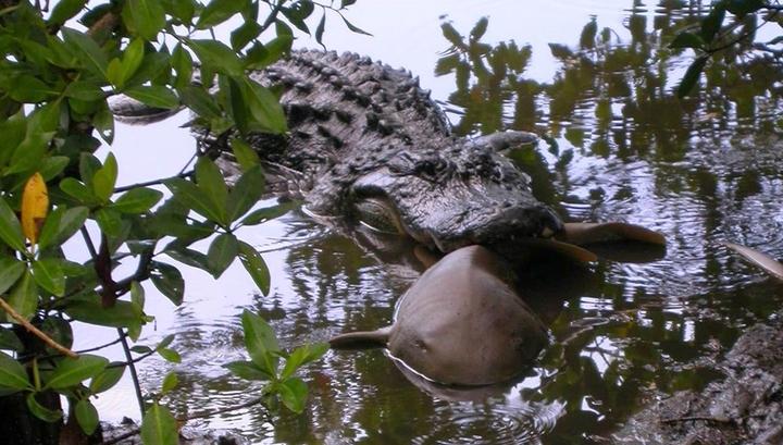 Аллигаторов застали за поеданием акул