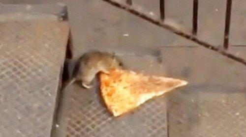 ТОП-10: Поразительные таланты крыс и связанные с ними факты