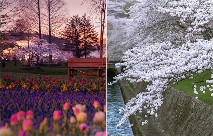 Сакура в цвету: Фотопейзажи …