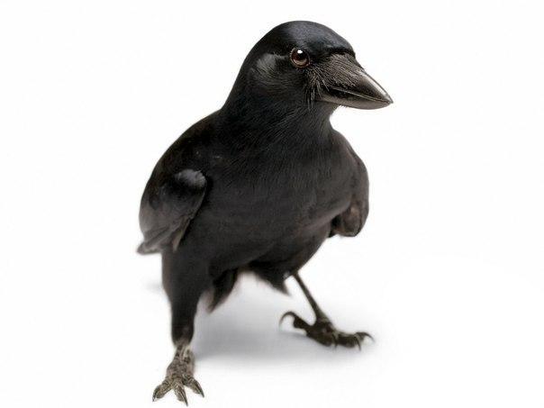 Почему вороны — интеллектуальная элита мира животных?