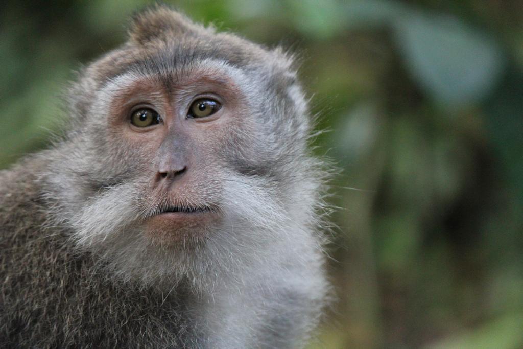 Почему обезьяны не говорят