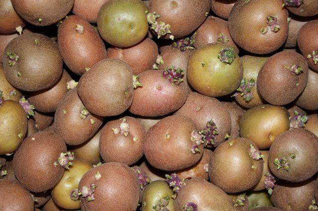 Когда готовить к посадке картофель и чеснок?