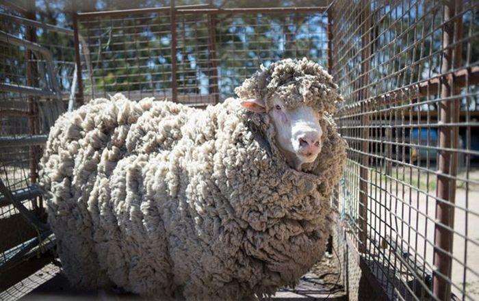 Овца, которую не стригли 4 г…