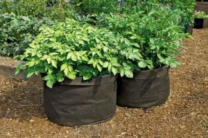 Выращивание-картофеля-в-мешках-300x199 (300x199, 62Kb)