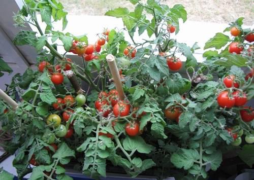 Как сажать помидоры на окне 71