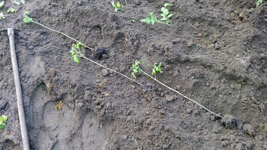 Рассаду помидоров сажаем лежа. Фото автора