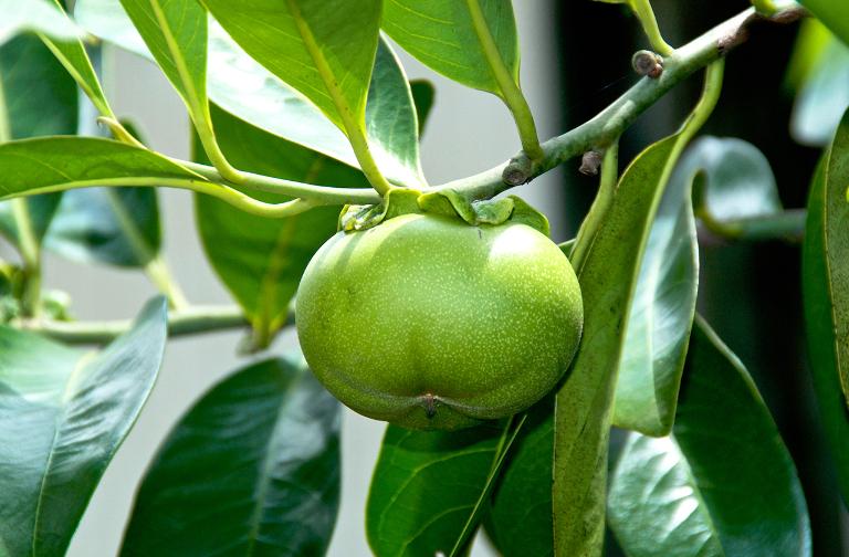 Манцинелла: самое опасное дерево в мире