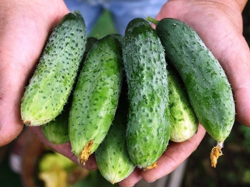 Как правильно ухаживать за огурцами - советы опытного агронома