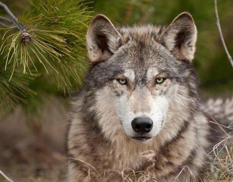 Волчьи повадки - что должен знать о них охотник. ученые сошлись во