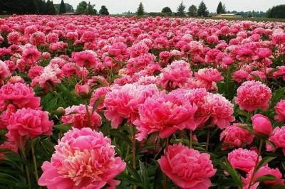 Пионы после цветения: ошибки садоводов