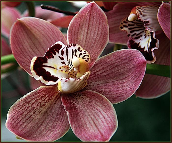 5230261_orhideya_dop2 (700x585, 143Kb)