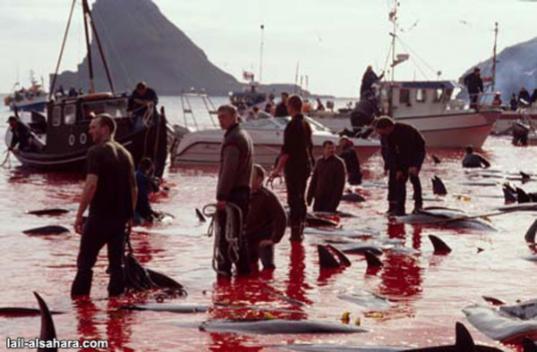 Массовые убийства дельфинов Гринд в Дании