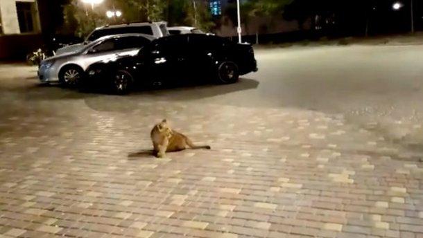 В Одессе заметили растерянного львенка посреди улицы