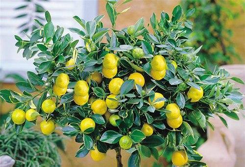 Как бороться с лимонной тлей.