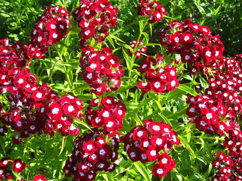 """Самые неприхотливые цветы для """"ленивого"""" сада"""