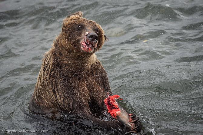 Медвежья рыбалка на заповедном кордоне Камчатки