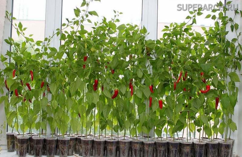 Как выращивать острый перец на подоконнике?