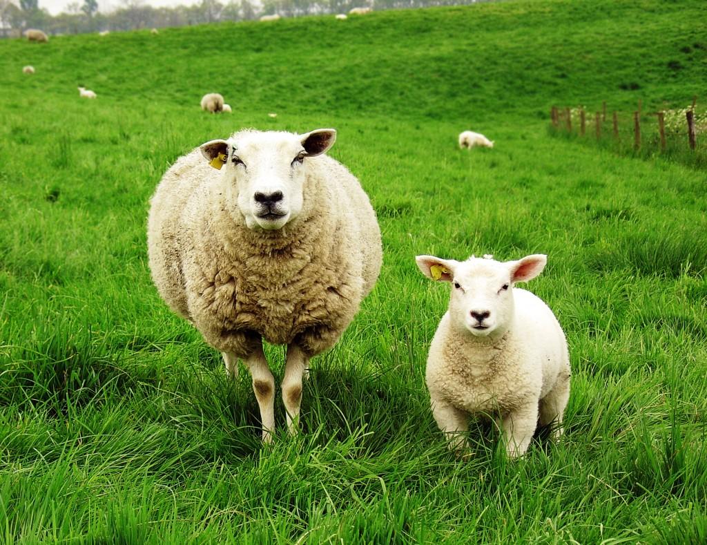 Картинки по запросу овца