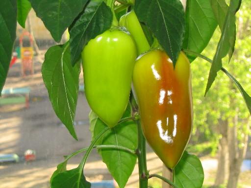 Выращиваем сладкий перец дома