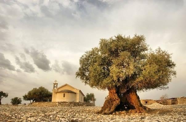 Дерево, которое старше нашей цивилизации